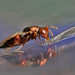 Chalcid wasp #1 Mesopolobus sp. (Chalcidoidea: Pteromalidae) by Lord V