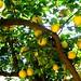 Our Lemon Tree by gem66
