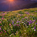 Olympic Wildflower Sunset