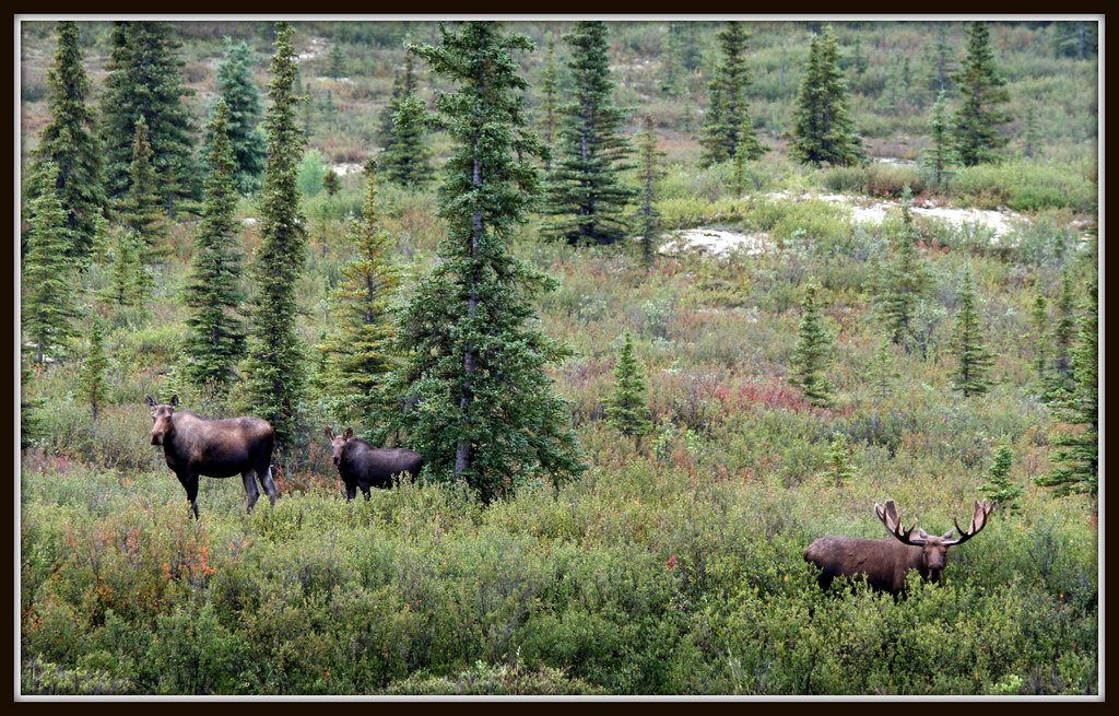 Bull Moose with Cow and Calf