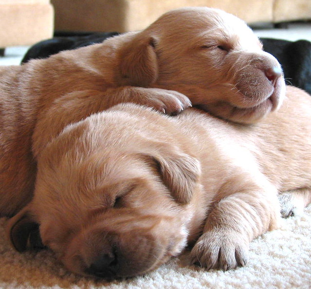 snuggling puppies   Flickr - Photo Sharing! Pictures Of Puppies