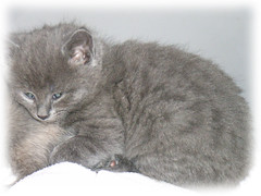 animal, kitten, british shorthair, small to medium-sized cats, pet, mammal, european shorthair, chartreux, cat, korat, whiskers, nebelung, manx, russian blue, domestic short-haired cat,