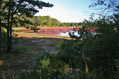20081008- Cranberry Harvest Harwich Cape Cod