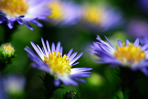 A Bunch of Asters