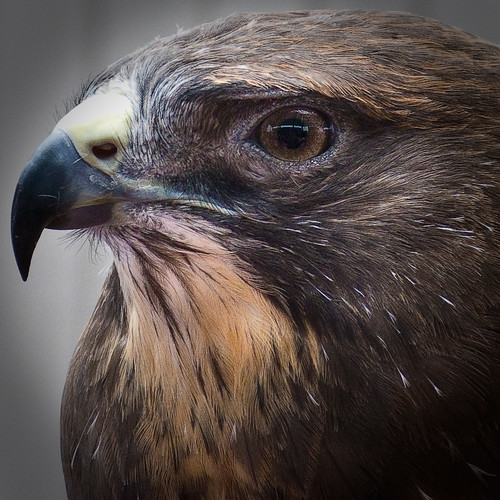 bird texas hawk tx raptor harris birdofprey buteo harrishawk unicinctus top20texas buteounicinctus