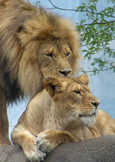 A Beautiful African Lion Couple