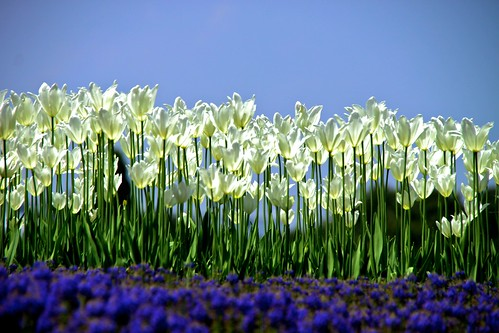 blue sky white flower green dof tulip muscari