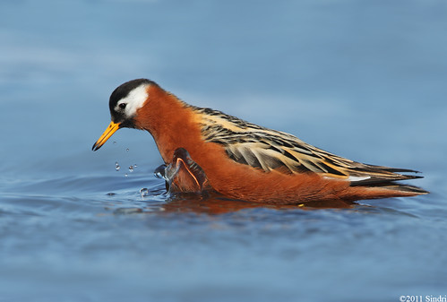 Red Phalarope (Þórshani)-16
