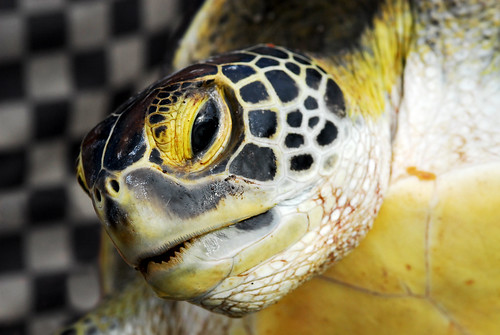 Photograph of a turtle against a black-and-white checked background (floor)