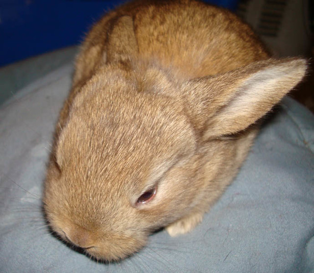 Light brown bunny   Flickr - Photo Sharing!