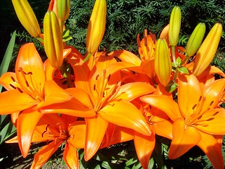 Lillies almost in full bloom