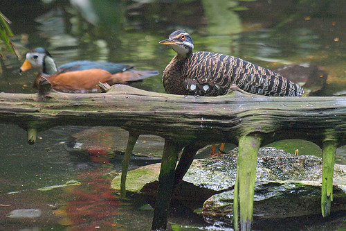 birds nc northcarolina nczoo asheboro sunbittern pygmygoose rjreynoldsforestaviary
