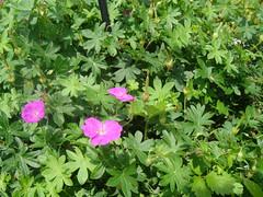 annual plant, shrub, geranium, flower, plant, herb, wildflower, flora,