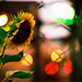 sunflower of the evening #2 by moaan