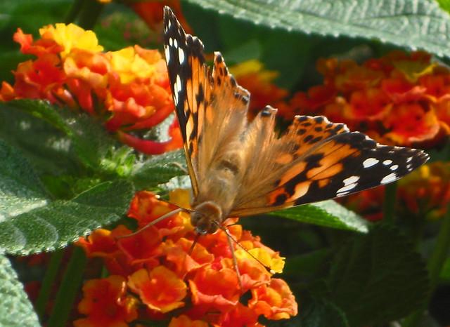 Butterfly on lantana