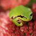 Northern Pacific Treefrog - Photo (c) Minette, some rights reserved (CC BY-NC)