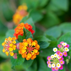 tropical milkweed(0.0), annual plant(1.0), shrub(1.0), flower(1.0), yellow(1.0), plant(1.0), macro photography(1.0), herb(1.0), wildflower(1.0), flora(1.0), lantana camara(1.0), petal(1.0),