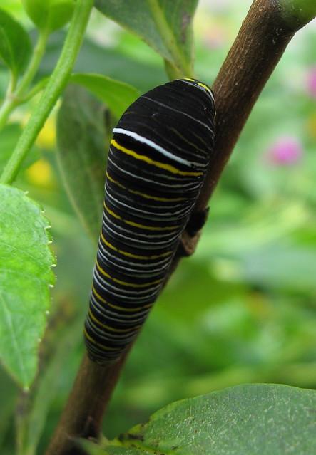black zebra swallowtail caterpillarZebra Swallowtail Caterpillar