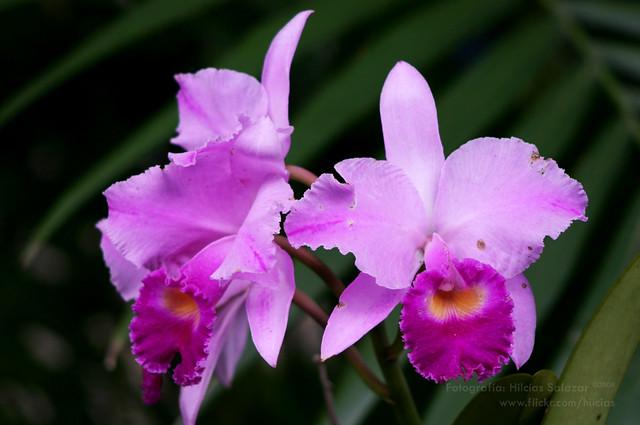 Orquideas Colombianas | Flickr - Photo Sharing!