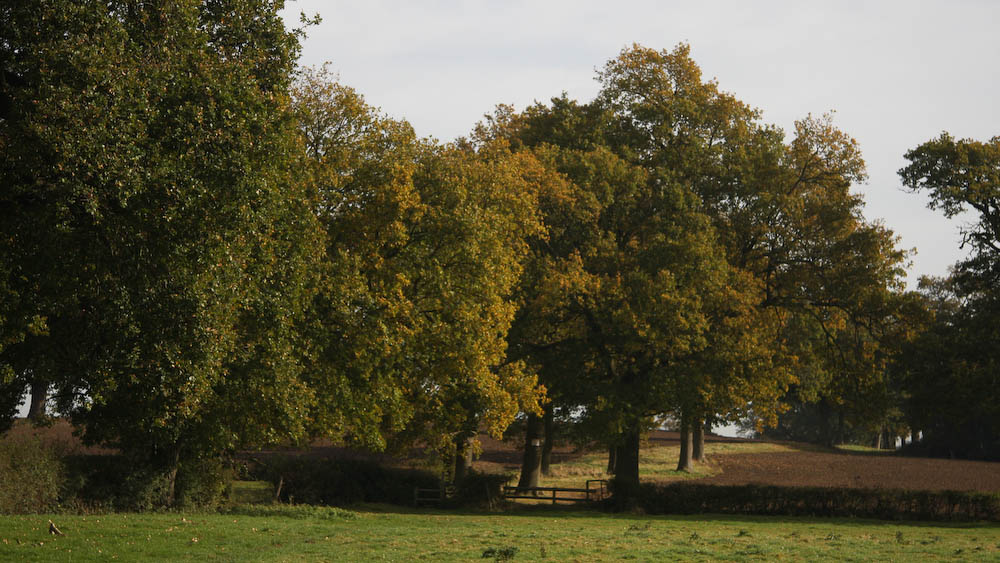 Oak trees of John's Copse