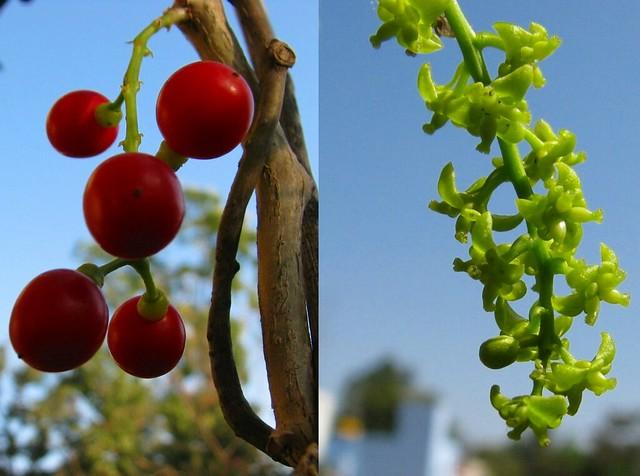 അമൃതവള്ളി Amritavalli - Tinospora cordifolia?