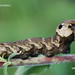 Grand sphynx de la vigne - Deilephila elpenor by floky