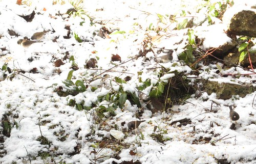 How many Juncos do You See?