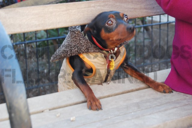 miniature pinscher wears dog coat picture 32  Flickr - Photo Sharing!