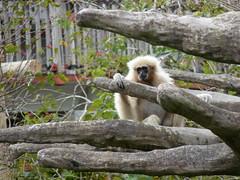 gibbon, animal, branch, monkey, mammal, fauna, old world monkey,
