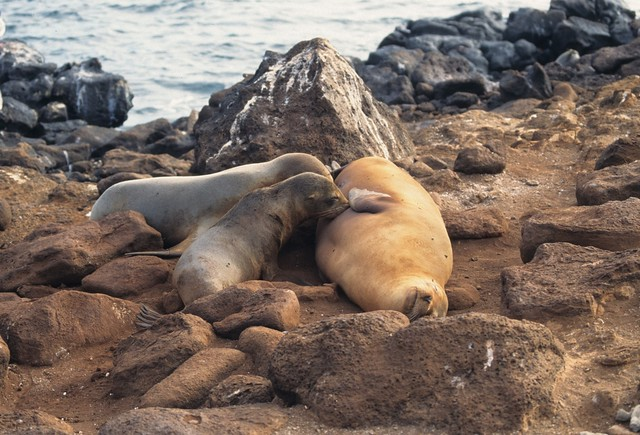 Galapagos sea lion nursing two pups, Galápagos Islands, Ecuador
