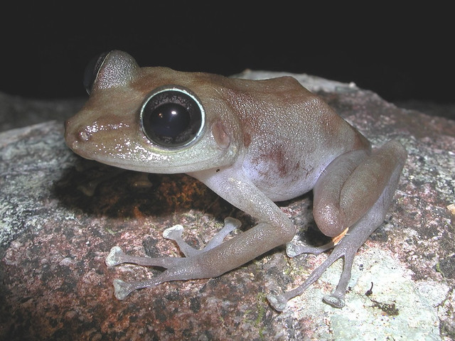 Image Result For Common Coqui Frog