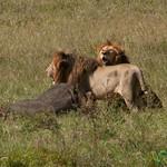 Two Male Lions with Kill - Serengeti, Tanzania