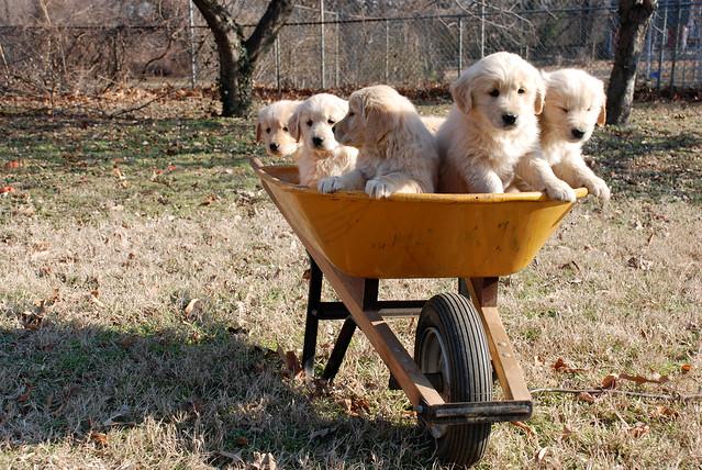 Tiny Super Cute Puppies Golden retriever Cuddly Cutelings
