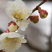 Japanese plum with raindrops