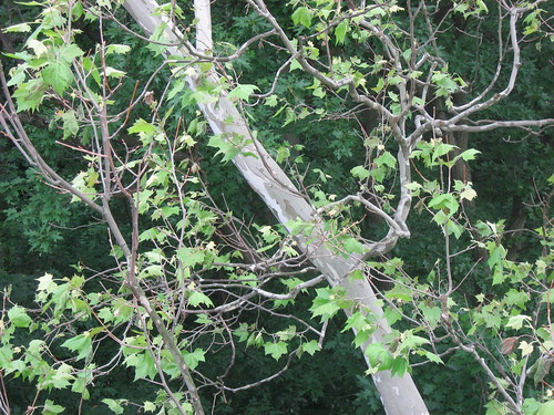Sycamore tree disease