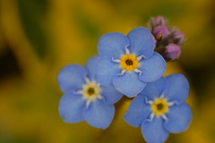 flower, yellow, macro photography, wildflower, flora, forget-me-not, close-up, blue, petal,