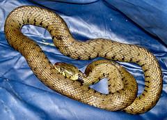 boas(0.0), boa constrictor(0.0), hognose snake(0.0), garter snake(0.0), rattlesnake(0.0), sidewinder(0.0), animal(1.0), serpent(1.0), snake(1.0), reptile(1.0), viper(1.0), scaled reptile(1.0), kingsnake(1.0),