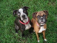 american bulldog(0.0), terrier(0.0), dog breed(1.0), animal(1.0), dog(1.0), pet(1.0), olde english bulldogge(1.0), carnivoran(1.0), boxer(1.0),