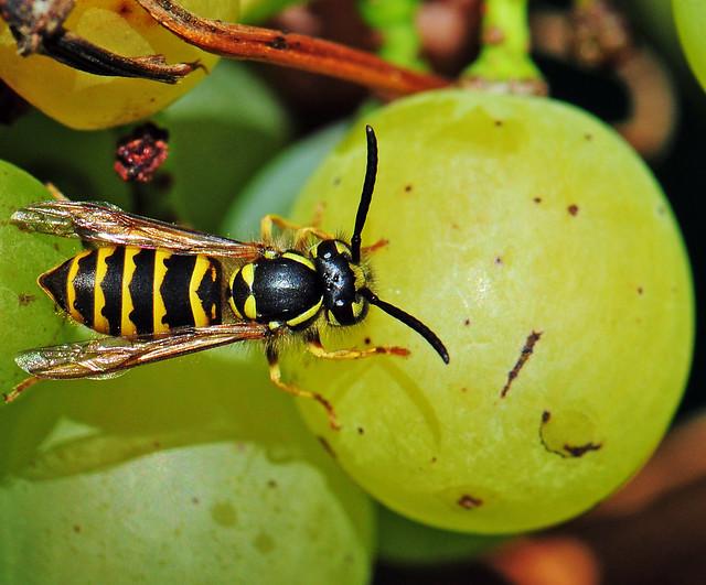 Wasp / Wespe