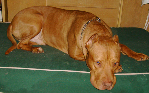 Cody - 5 years old - American pitbull terrier/Cane corso ...