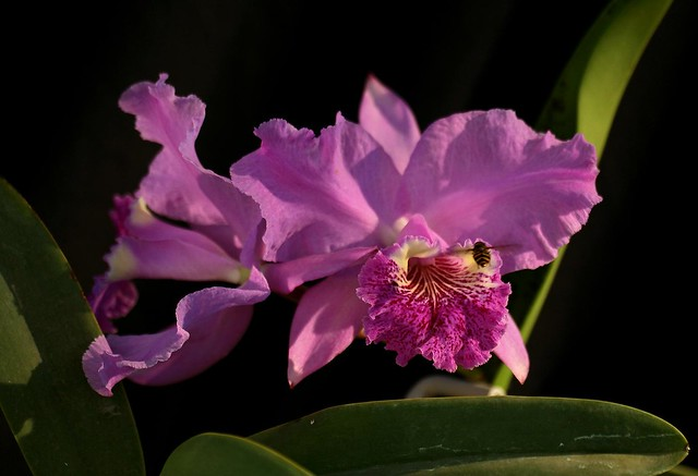 Cattleya lueddemanniana 'Orchid Jungle'(original division)__002 ...: www.flickr.com/photos/scott361/2985356939