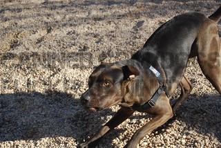 Louisiana Catahoula Leopard Dog pitbull terrier mix dog picture 2