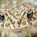 European Green Toad macro