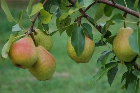 Pears In Our Garden Features In Ref Town Country