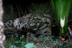 animal, big cats, mammal, jaguar, fauna, ocelot, wildlife,