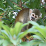 Brazilian Squirrel Monkey