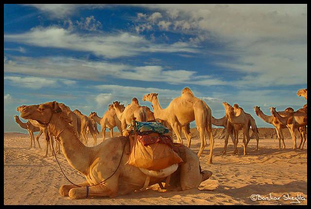 Los Camellos !