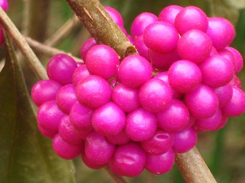 American Beautyberry #1