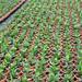 Plantas jovenes de Dipladenia sanderi
