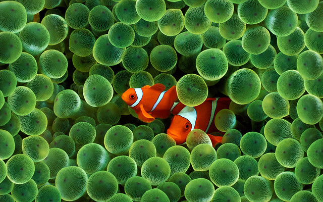 2388796069 c996965d92 z Photographers Who Found Nemo And Photographed It